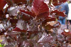 Säulen-Blutbuche 'Dawyck Purple'
