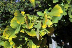 Säulen-Fächerblattbaum 'Tremonia'