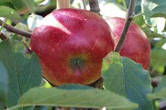 Apfel 'Wellant' ® / 'Fresco'