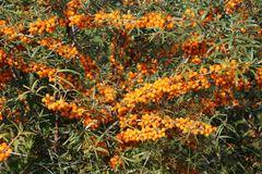Sanddorn 'Friesdorfer Orange'