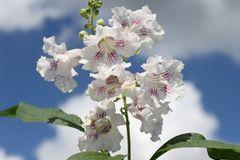 Schmalblättriger Trompetenbaum / Baumoleander