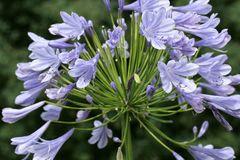 Schmucklilie 'Blue Giant'