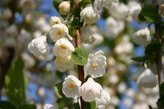 Schneeglöckchenbaum