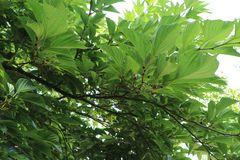 Schwarzfruchtige Maulbeere 'Collier'