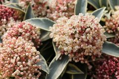 Japanische Blütenskimmie 'Magic Marlot'