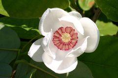 Sommer-Magnolie