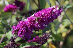 Sommerflieder / Schmetterlingsstrauch 'Berries and Cream'