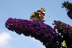 Sommerflieder / Schmetterlingsstrauch 'Black Knight'