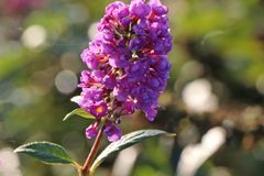 Sommerflieder / Schmetterlingsstrauch 'Dreaming Lavender'