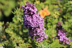Sommerflieder / Schmetterlingsstrauch 'High Five Purple'
