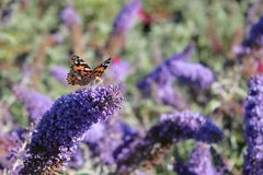 Sommerflieder / Schmetterlingsstrauch 'Reve de Papillon' ® Blue