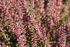 Sommerheide / Besenheide GardenGirls ® 'Angie' -S-
