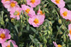 Sonnenröschen 'Lawrensons Pink'