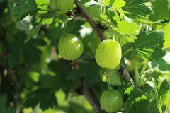 Stachelbeere 'Hinnonmäki grün'