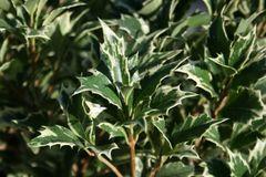 Stachelblättrige Duftblüte 'Variegatus'