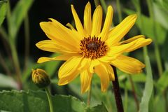 Stauden-Sonnenblume 'Monarch'