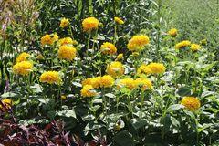 Stauden-Sonnenblume 'Soleil d'Or'