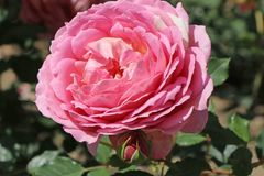 Strauchrose 'Jubilee Celebration'  ®