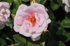 Strauchrose Orienta ® 'Magnolia'