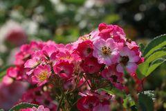 Strauchrose Rosy Boom ® (Pink)