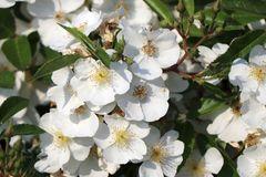 Strauchrose Rosy Boom ® (Weiß)