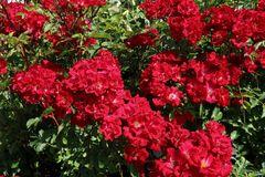 Strauchrose Rosy Boom ® (Rot)