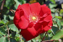 Strauchrose 'Roter Korsar' ®