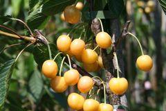 Süßkirsche 'Dönissens Gelbe Knorpelkirsche'
