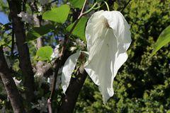 Taschentuchbaum / Frühblühender Taubenbaum 'Sonoma'