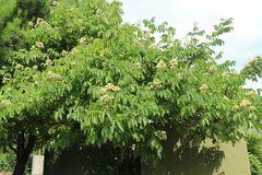 Tausendblütenstrauch / Bienenbaum