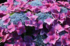 Tellerhortensie Royalty ® Collection 'Kardinal Violet ®'