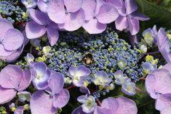Tellerhortensie Royalty ® Collection 'Lutin Blue'