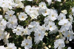 Teppich-Flammenblume 'White Admiral'