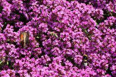 Thymian 'Purple Beauty'