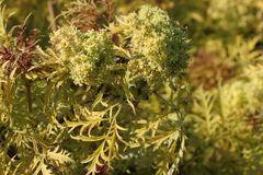 Farnblättriger Goldholunder / Traubenholunder 'Plumosa Aurea'