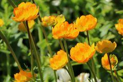 Trollblume 'Orange Globe'