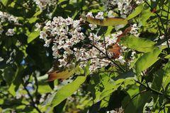 Trompetenbaum 'Purpurea'