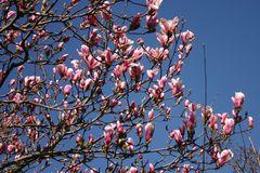 Tulpen-Magnolie 'Pickard's Schmetterling'