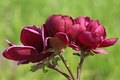 Tulpenmagnolie 'Genie'