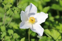 Herbst-Anemone 'White Swan'