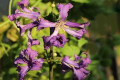 Waldrebe 'China Purple'