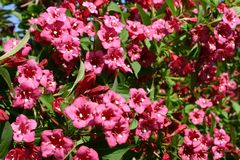 Weigelie 'Bristol Ruby'