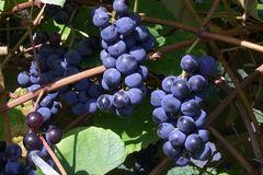 Weintraube 'Berry Sweet Blue'