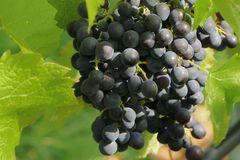 Weintraube 'Königliche Esther' ®