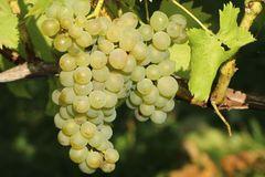 Weintraube 'Perle von Zala'