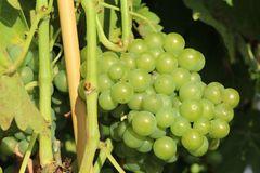 Weintraube 'Seyval Blanc'