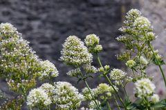 Weißblühende Spornblume 'Albus'