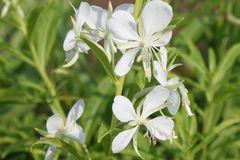 Weißblühendes Weidenröschen