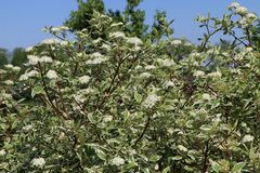 Weißbunter Purpur-Hartriegel 'Sibirica Variegata'