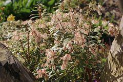 Weißbuntes Schattenglöckchen 'Variegata'
